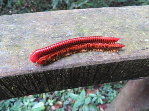 The wild sex life of millipedes, just one of Borneo's attractions