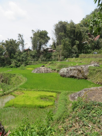The vivid green of rice fields among the hills is typical of Tana Toraja