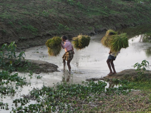 Framers carry the rice crop home