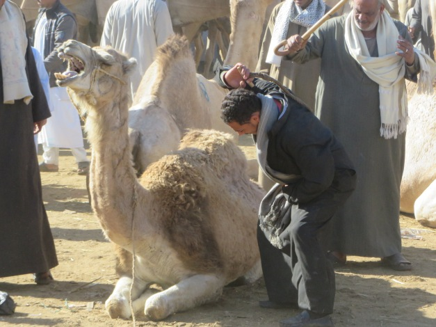 Despite not going anywhere this camel still required whipping for some reason