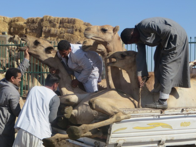 The fine art of getting a camel onto the back of a pick up